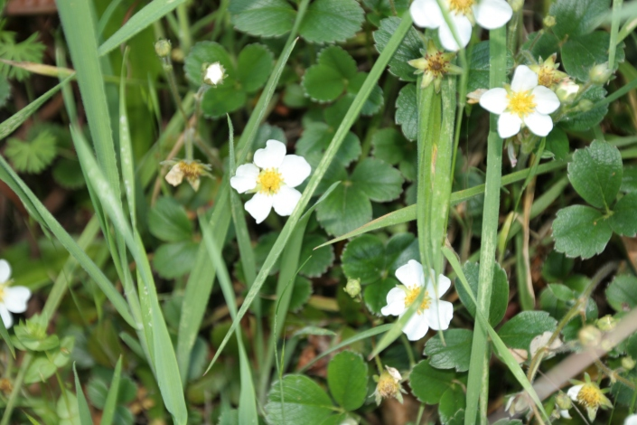 Wild strawberries blooming