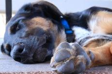 Puppy Izumi snoozing