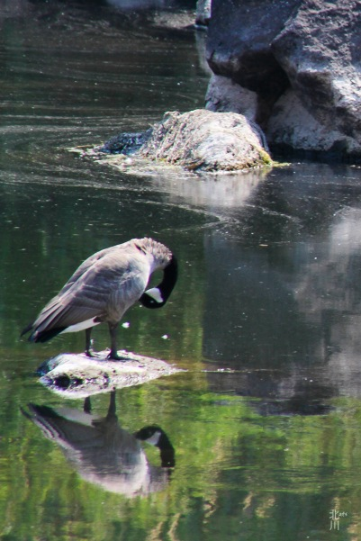 Goose Reflecting